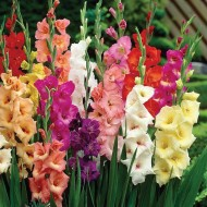 Gladiolus Giant Flowered Carnival Mixture - Pack of 100 Glamorous Gladioli