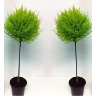 Pair of Lemon Scented Evergeen Monterey Cypress Patio Goldcrest Lollipop Trees