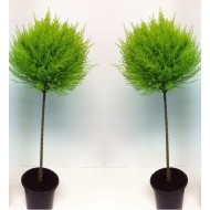Mini 30cm Lollipop Lemon Cypress Tree