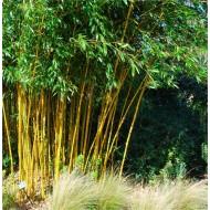 Phyllostachys aurea - Golden Cane Bamboo