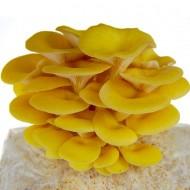 Golden Yellow Oyster Mushroom Grow Kit