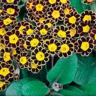 Primula Gold Lace - Gold Laced Polyanthus Plants