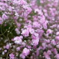 Gypsophila paniculata 'Rose' - Pack of TWENTY FIVE
