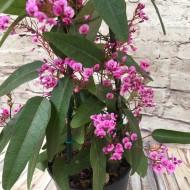 "Hardenbergia violacea Rosea ""Candy Wrapper"" - Evergreen Pink Coral Pea"