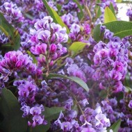 "Hardenbergia violacea ""Happy Wanderer"" - Evergreen Purple Coral Pea"