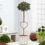 Heart Shaped Trunk Lollipop Bay Tree in White Basket
