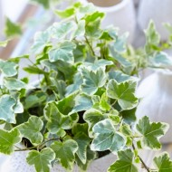 SPECIAL DEAL - Trailing Variegated Ivy - Pack of 5 Hedera Plants
