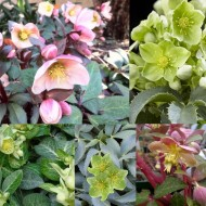 Helleborus Collection of FIVE Winter Blooming Hellebore Plants in Bud & Bloom