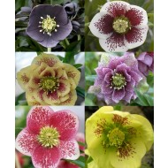 Helleborus orientalis Hybrids - Hellebore - Pack of Three Plants in assorted Colours