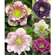 Connoisseur Helleborus Plants Collection - Pack of FIVE Double Ellen Hellebore Plants