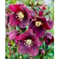 SPECIAL DEAL - Helleborus x hybridus 'Hello Red' - Oriental Hellebore in Bud & Bloom