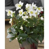 Helleborus niger - White Christmas Roses - Pack of THREE Plants in SILVER Pots