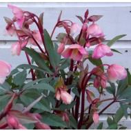 Winter Bells Helleborus - Hellebore Plant in Bud & Bloom