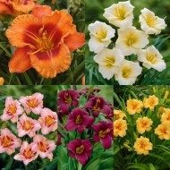 Hemerocallis Day Lily Collection - Pack of FIVE