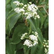Heptacodium miconioides - Seven Son Flower