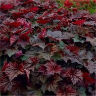 Heuchera Palace Purple - Crimson Coral Bells - Pack of THREE Plants