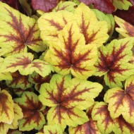SPECIAL DEAL - Heuchera Stoplight