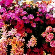 Lewisia Mountain Dream - Gorgeous Lewisia Plants in assorted colours