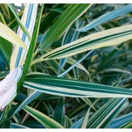 Hibanobambusa ''Shiroshima'' - Variegated Bamboo