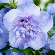 Hibiscus syriacus BLUE Chiffon - Double Flowered Tree Hollyhock