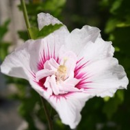 Hibiscus syriacus CHINA Chiffon - Double Flowered Tree Hollyhock