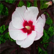 Hibiscus moscheutos Carousel 'Jolly Heart' - Rose Mallow