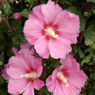 Hibiscus syriacus Pink Giant - Large Flowered Pink Tree Hollyhock