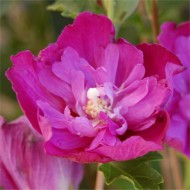 Hibiscus syriacus Purple Ruffles - Double Flowered Rose of Sharon Hollyhock Tree
