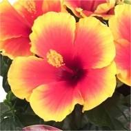 Hibiscus sinensis rosea 'Tivoli'