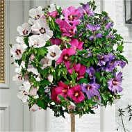 Extra Large Tricolour Hibiscus Tree - Three Colours on One Tree!