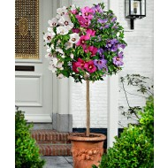 Large 5-6ft  Tricolour Hibiscus Tree - Three Colours on One Tree!