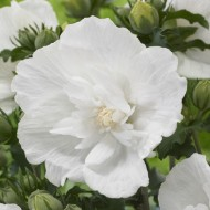 Hibiscus syriacus WHITE Chiffon - Double Flowered Tree Hollyhock