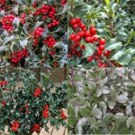 Pack of FOUR Lovely Holly Plants - ALL DIFFERENT