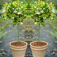 "Pair of Gorgeous ""Golden King"" Variegated Holly Tree Standards - Perfect for Patios"