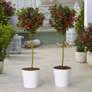 Pair of Premium Quality Festive Holly Trees Covered in Berries with Contempory White Planters
