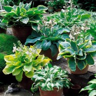 Premier Hosta Collection - Pack of TEN