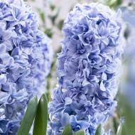 Hyacinth 'Blue Tango' - Soft Blue Double - Pack of 6 Bulbs