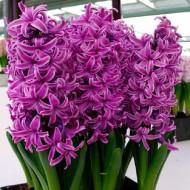 Hyacinth Paul Hermann - Pack of 5 Bulbs