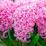Hyacinth Scented Pink Growing kit