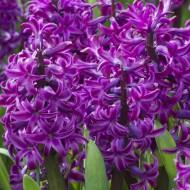 Purple Sensation Hyacinths - Pack of 10 Bulbs