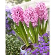 Fondant Pink Hyacinths - Pack of 5 Bulbs
