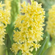 SPECIAL DEAL - Gypsy Princess Hyacinths in Bud