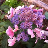 Hydrangea aspera Hot Chocolate - Chocolate Leaf Hydrangea