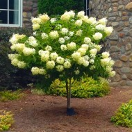 Hydrangea Limelight - 120cm Lollipop Standard Tree