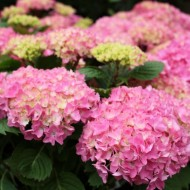 Hydrangea macrophylla Mop head Pink - Large Flowered Plants