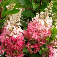 Hydrangea paniculata Diamond Rouge - EXTRA LARGE Flowering Plant