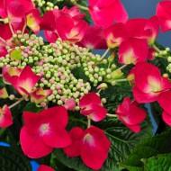 Hydrangea macrophylla Kardinal - Blood Red Lace cap Hydrangea