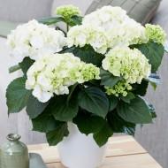 Hydrangea macrophylla 'Snow Ball' - Large Flowered Mophead Hydrangea - 100-140cms MONSTER XXXXL Plants