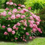 Hydrangea arborescens 'Sweet Annabelle'®