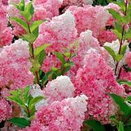 Hydrangea paniculata Vanilla Fraise - LARGE Vanilla Strawberry Hydrangea